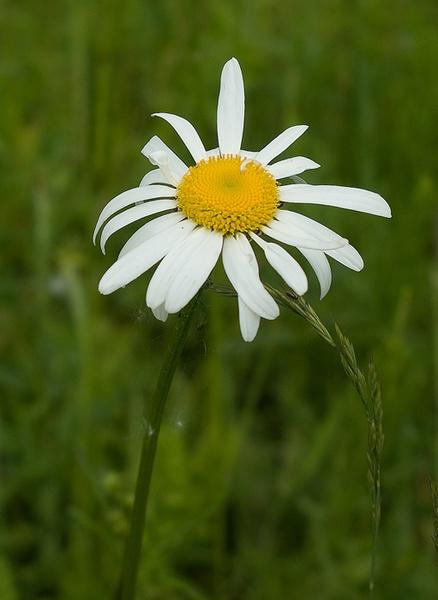Oxeye Daisy by Steve7962