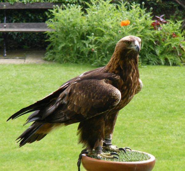 Golden Eagle by MikeGosden