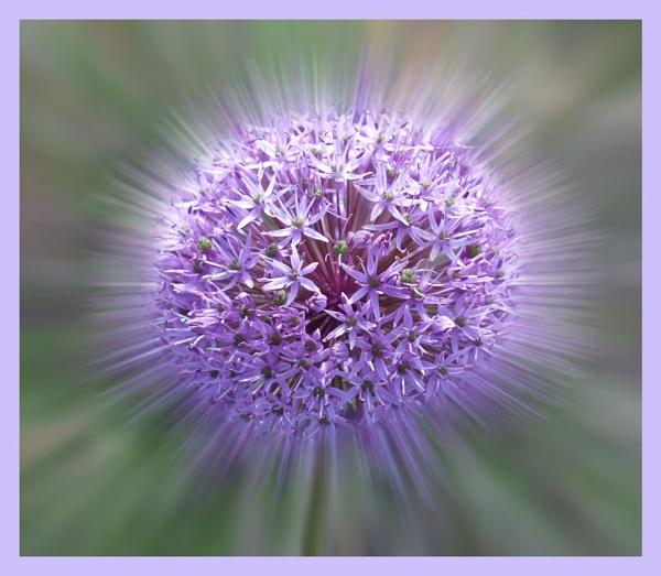 Allium by BERTRAM