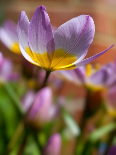 Tulip by Merlin_k