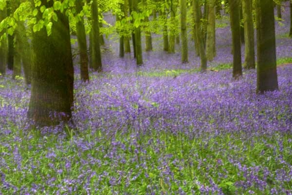 Zoom Bluebells by john thompson