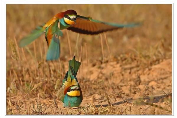 Europen Bee-Eaters 2 by DannyVokins