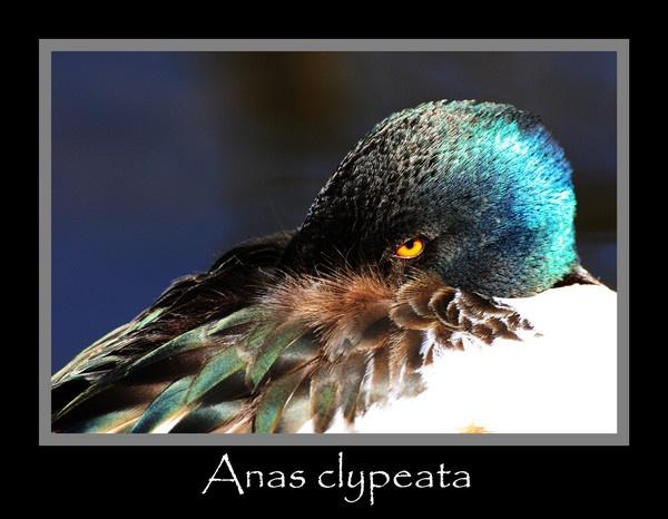 Anas clypeata by chunky1972