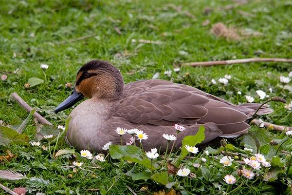 Daisy Duck by urdygurdy
