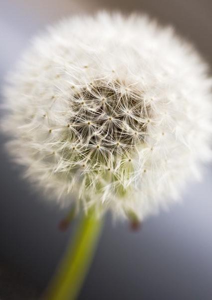 Dandelion by smig44