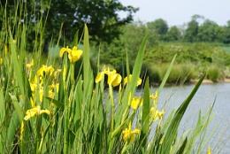 Water Iris at Clavering Fishing Lakes