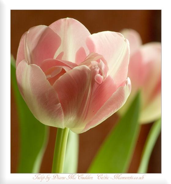 Tulip by Diane_McCudden