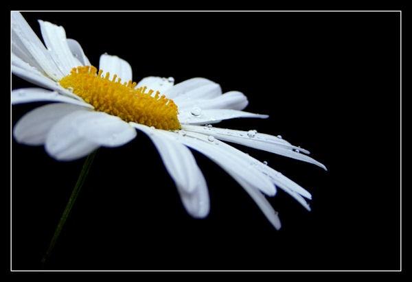 Daisy by KEV67S