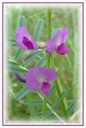 Purple/Lilac Pea!   Vicia sativa ssp segetalis (N)