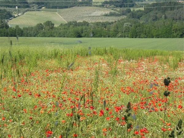 poppy field by ValRMN