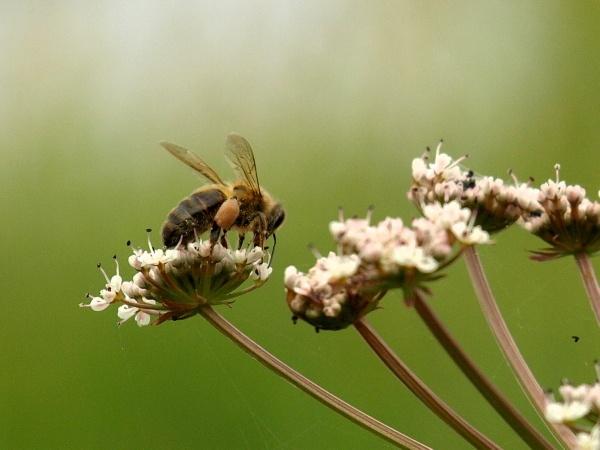 Honey bee by Ginamagnolia