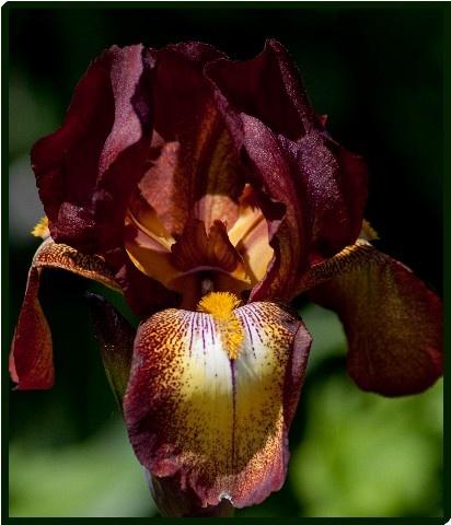 Iris by mikaela4