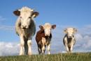 3 cows