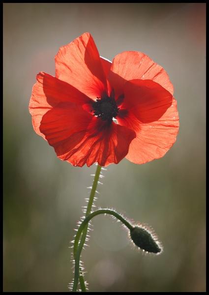 poppy by GrahamDixon