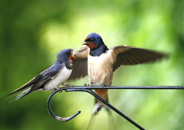 Swallows by GrahamDixon