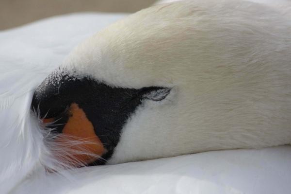 Swan Siesta by cyman1964uk