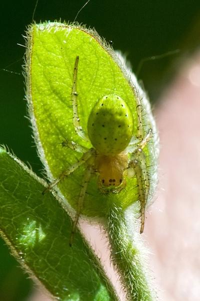 green orb weaver 2 by roseyemma