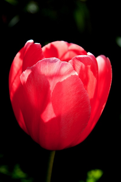 Red Tulip by ckristoff