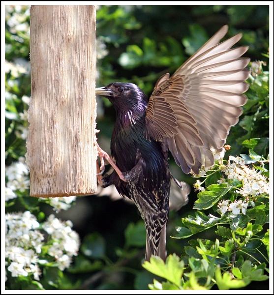 Starling by helengib