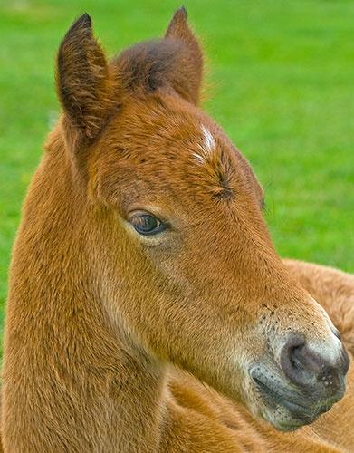 Portrait of a Dartmoor Pony by BOLIVAR