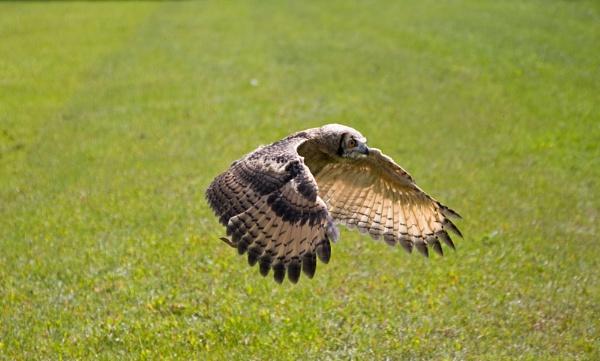 Owl by Britman