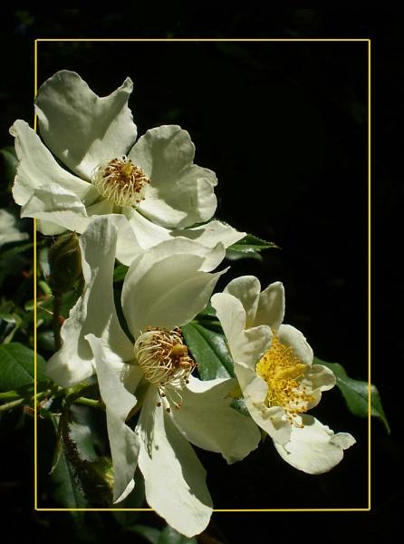 rosa canina by CarolG