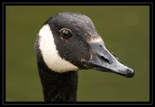 Goose Portrait by GaryR