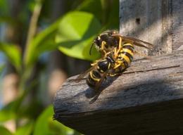 Wasps .... ?