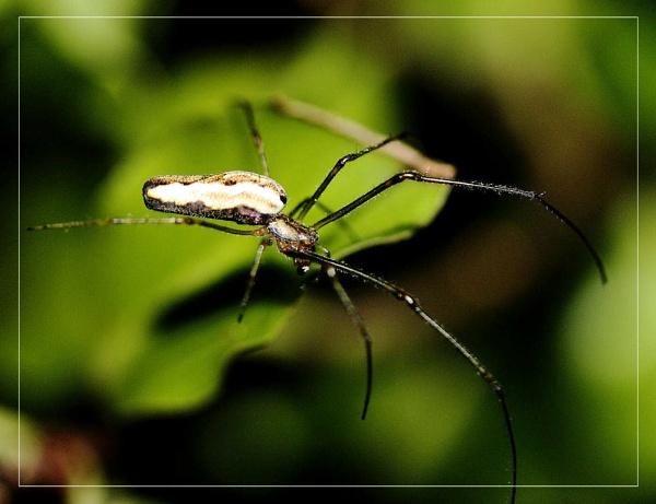 spider Tetragnatha extensa by kraziteach
