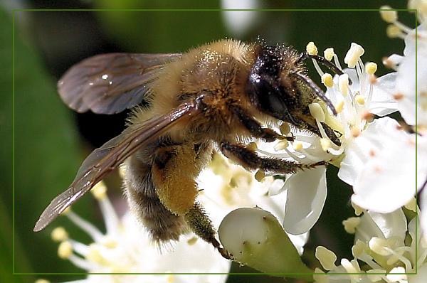 Honey bee by kraziteach