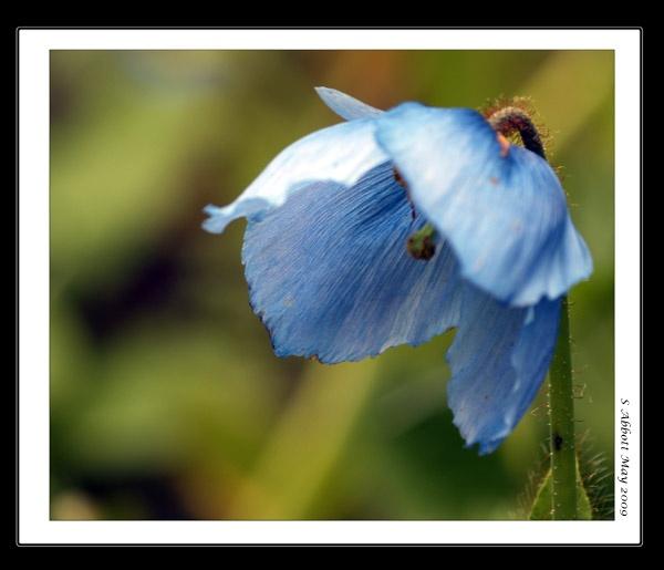 Blue Poppy by elaronndy