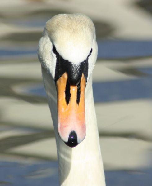 Swan by kdeans