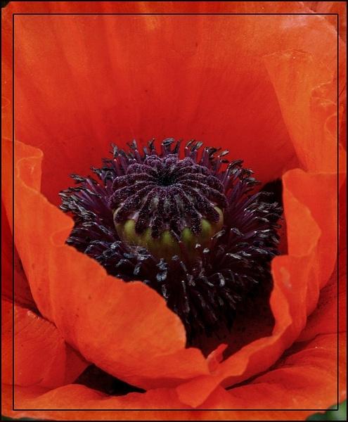 Heart of the Poppy by Stevekriti