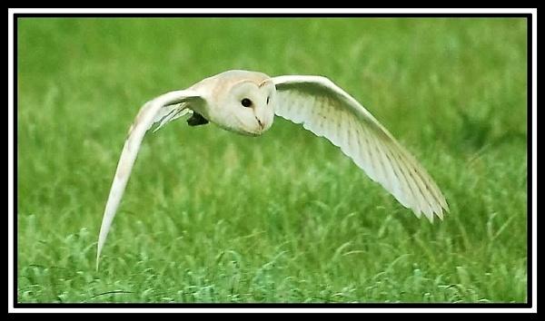 Hunting Barn Owl by jove