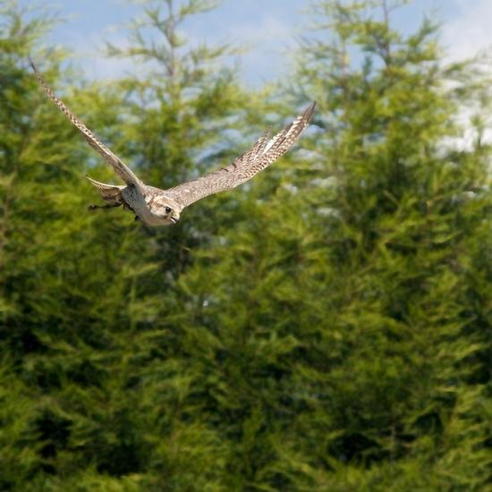 Falcon in Flight by mattphotos