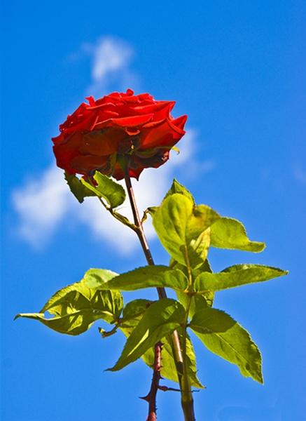 Rose by stuhalloran