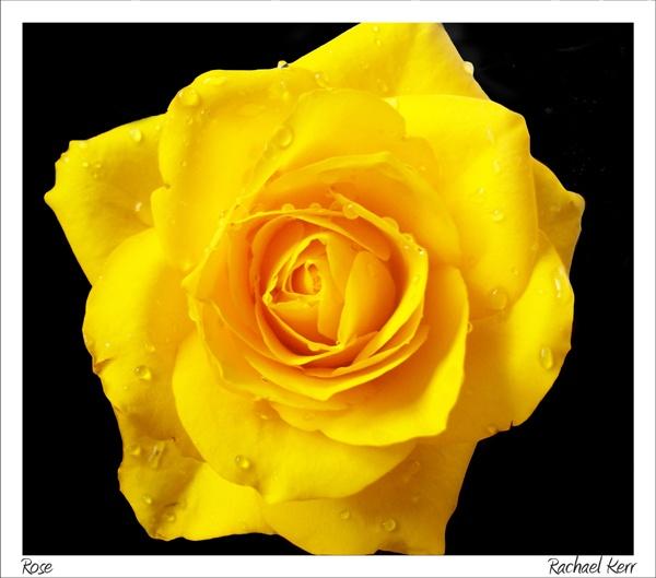 rose by rachaelk