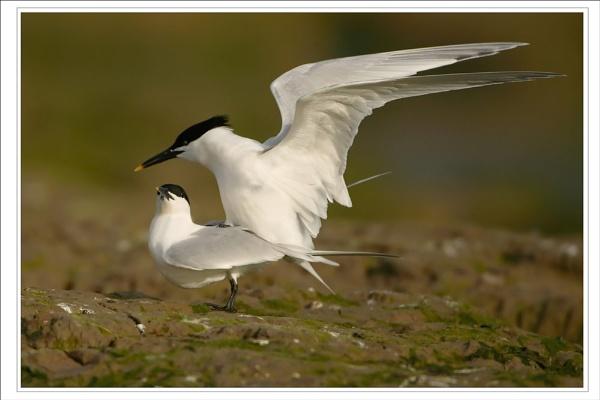 IOW Sandwich Tern by DannyVokins