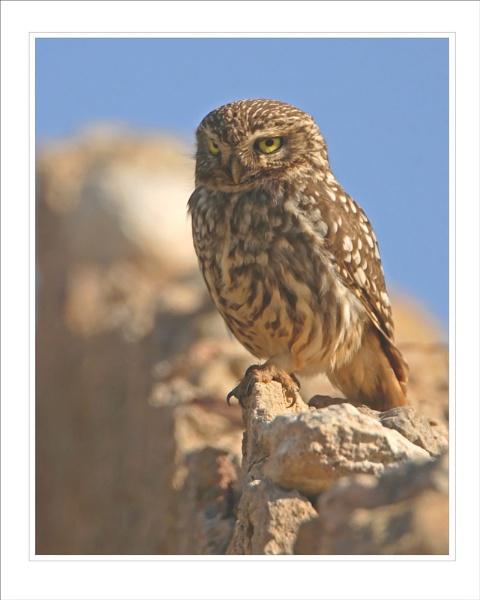 Little Owl by DannyVokins