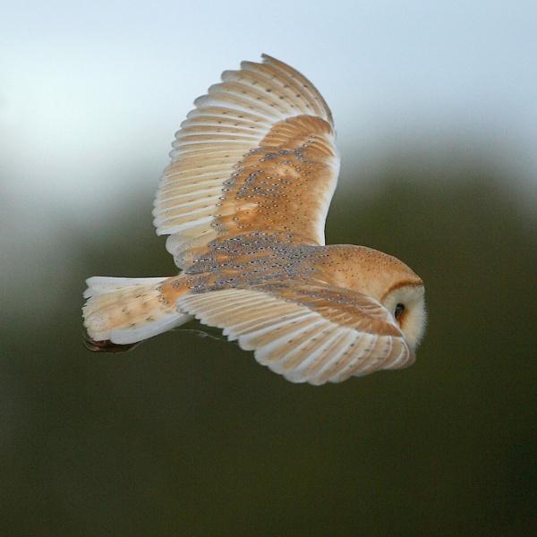 IOW Barn-owl by DannyVokins