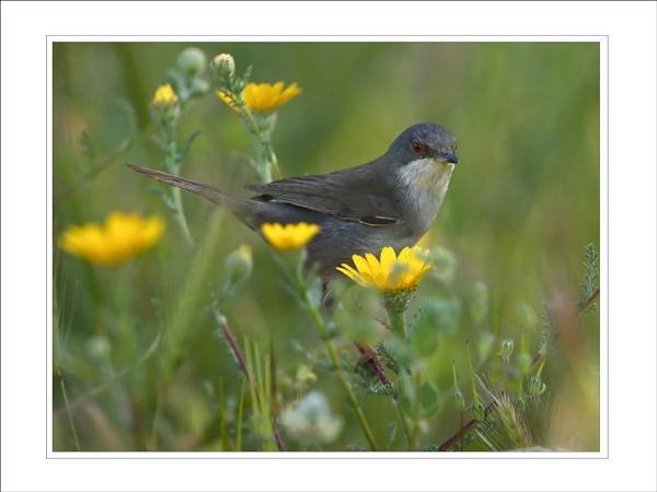 Sardinian Warbler by DannyVokins