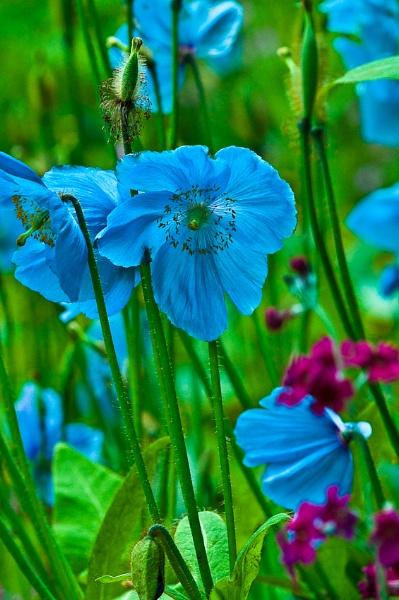 Blue poppies by Rorymac