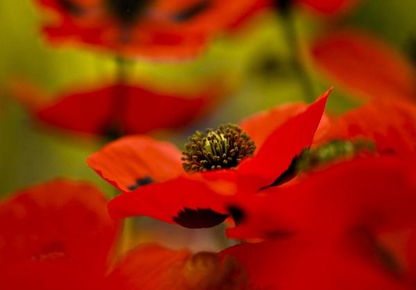 Poppies by Rorymac