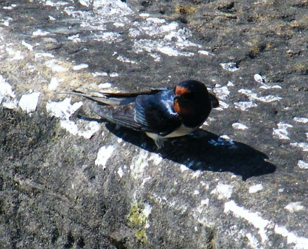 sunbathimg swallow by fleetwoodflyers
