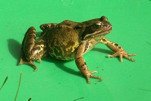 Froggy by wennyb