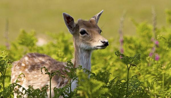 Young Fallow Deer by bridge99