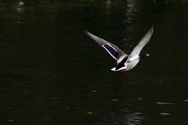 Flying Duck by TIMOINDUBLIN