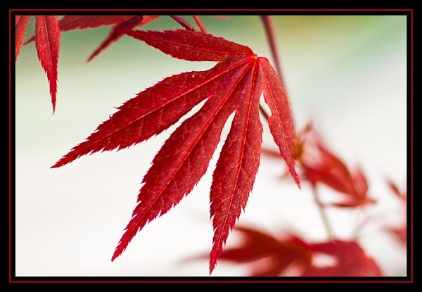 maple leaf by Anima