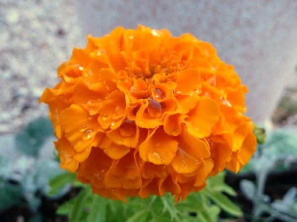 flower in the rain by quattro
