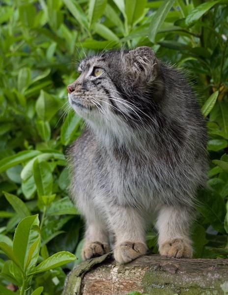 Pallas Cat by baclark